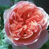 """Edelrose """"Chippendale®"""""""